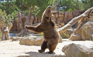 Brown bear on his hind legs looks like he is dancing with his head thrown back