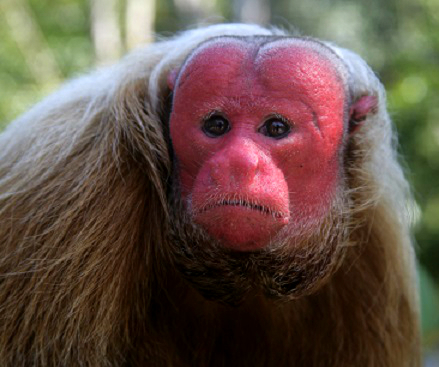 Red Face Monkey